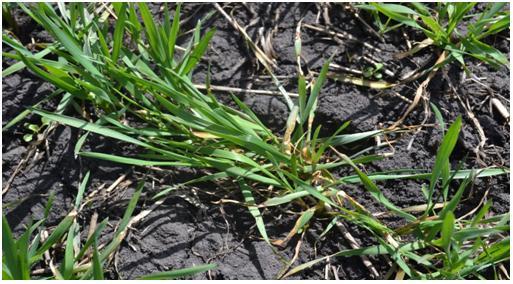 Болезни на озимой пшенице