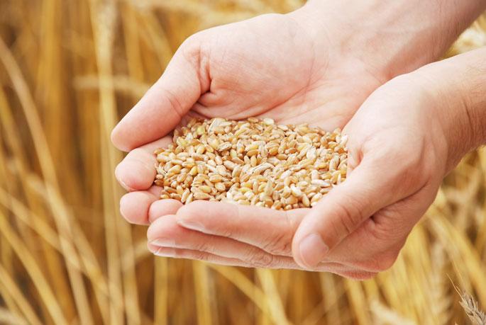 Курские семхозы планируют реализовать 56 тысяч тонн семян яровых