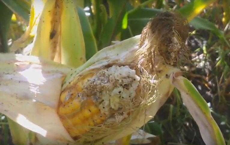 Фитосанитарный мониторинг кукурузы