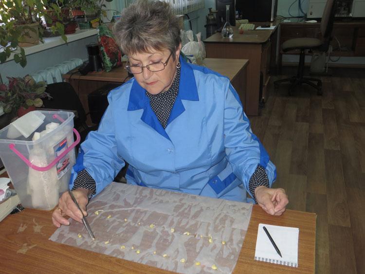 Ведущий агроном по семеноводству Рогова А. Н. проводит анализ семян сои на всхожесть