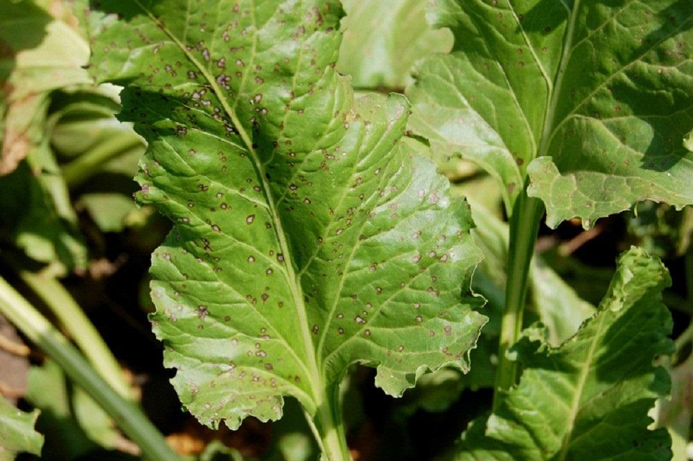 Церкоспороз (Cercospora beticola)