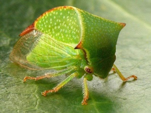 Stictocephala-bubalus-F