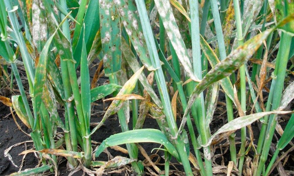 Посевы озимой пшеницы, пораженные мучнистой росой